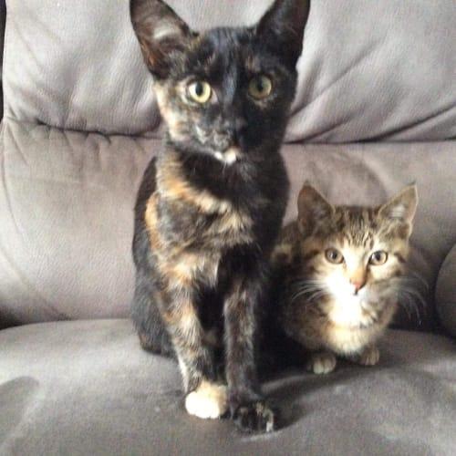 Maria ~ Kitten - Domestic Short Hair Cat