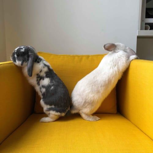 Malaya - Lop Eared Rabbit