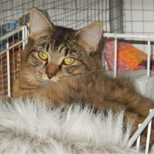 Xavier - Domestic Medium Hair Cat