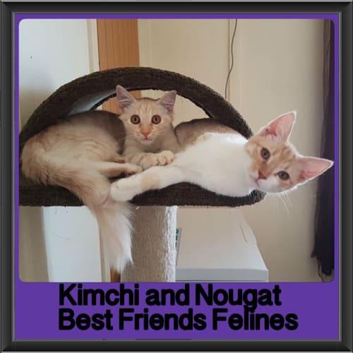 Kimchi and Nougat  - Domestic Short Hair Cat