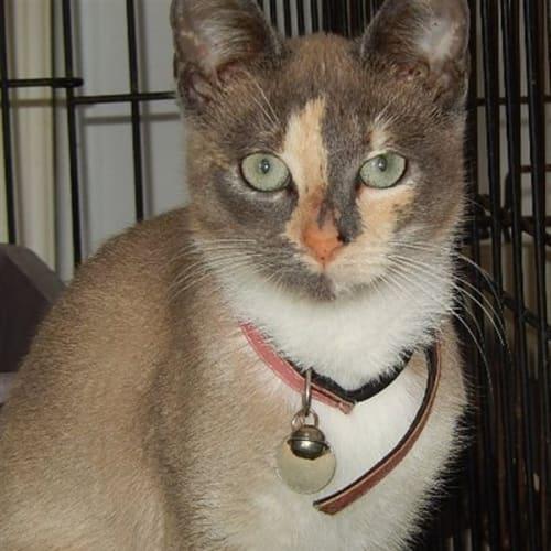 Arianah - Burmese Cat