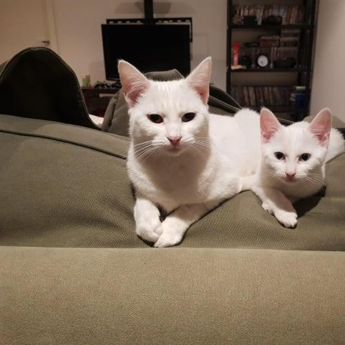 Jill and China the white princesses - Domestic Short Hair Cat