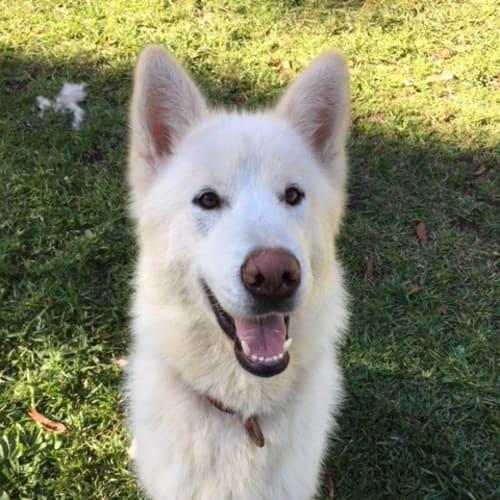 Thor - Alaskan Malamute x Siberian Husky Dog