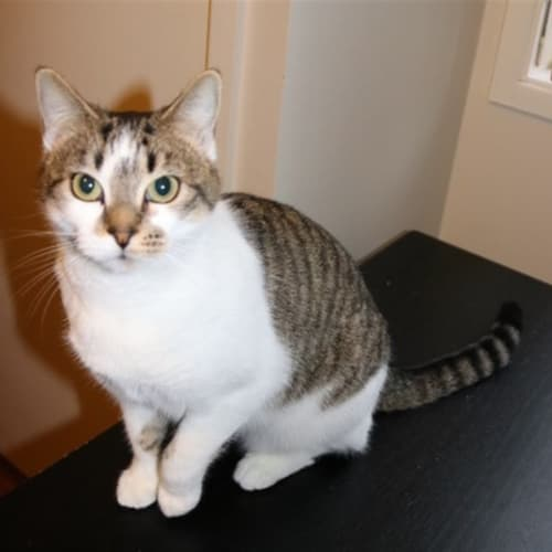 Tanya E1496 - Domestic Short Hair Cat