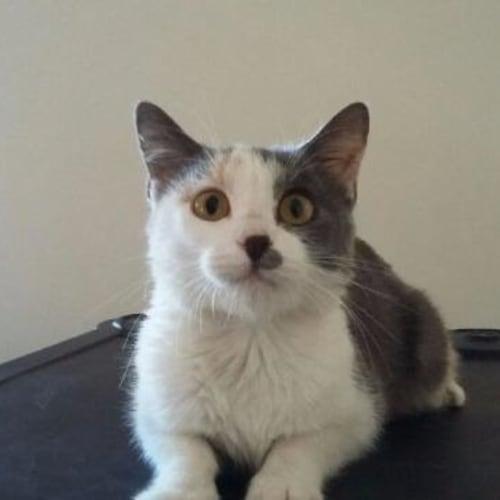 Mouse - HC949 - Domestic Short Hair Cat
