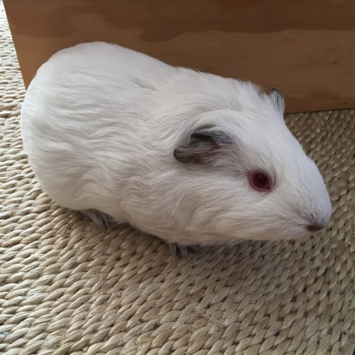 Jon Snow  - Smooth Hair Guinea Pig