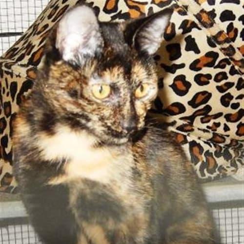 Latisha - Domestic Short Hair Cat