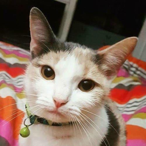 Donna - Domestic Short Hair Cat