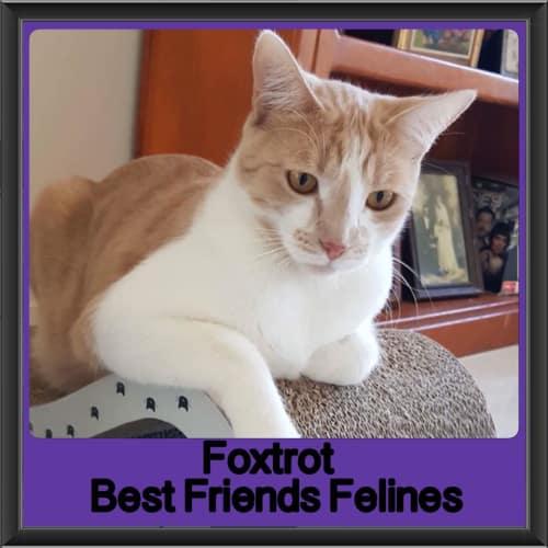 Foxtrot - Domestic Short Hair Cat