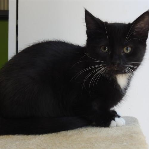 Kittles - Domestic Medium Hair Cat
