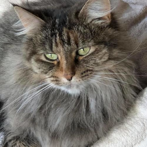 Milly - Domestic Long Hair Cat