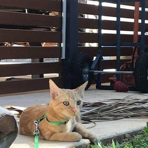 Pablo - Domestic Short Hair Cat