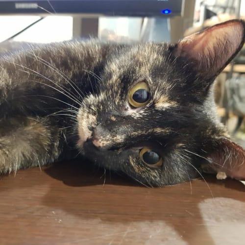 Wednesday  - Domestic Short Hair Cat