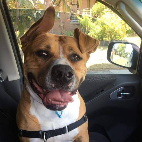 Jeddah - Foster Carer Needed - Staffy Dog