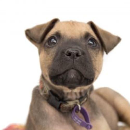 Freddie - Staffy Dog