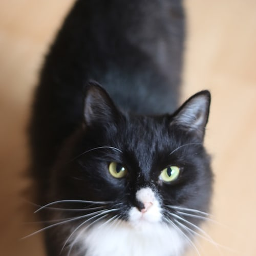 Mae - Domestic Medium Hair Cat