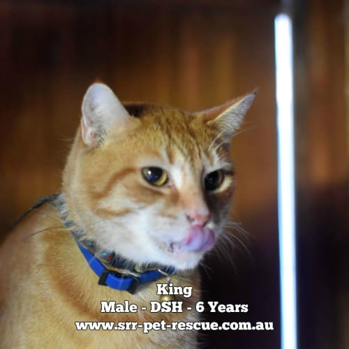 King - Domestic Short Hair Cat