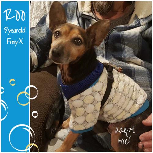 Roo ~ 9 year old Foxy x - Fox Terrier Dog