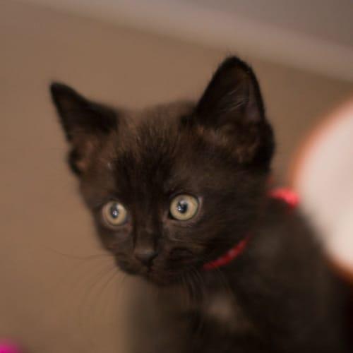 Nigel  - Domestic Short Hair Cat