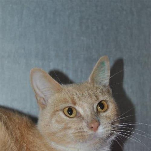 Rosa - Manx Cat