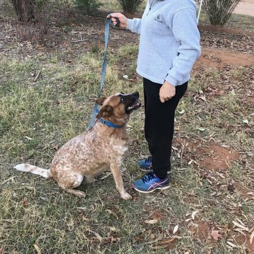 Tonto - Red Heeler Dog
