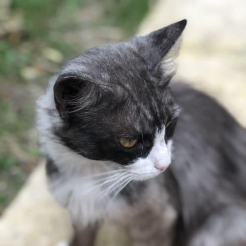 Lena  - Snowshoe x Domestic Medium Hair Cat