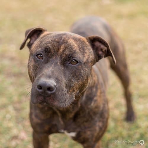 Jee ~ 2 yr old Staffy - Staffy Dog