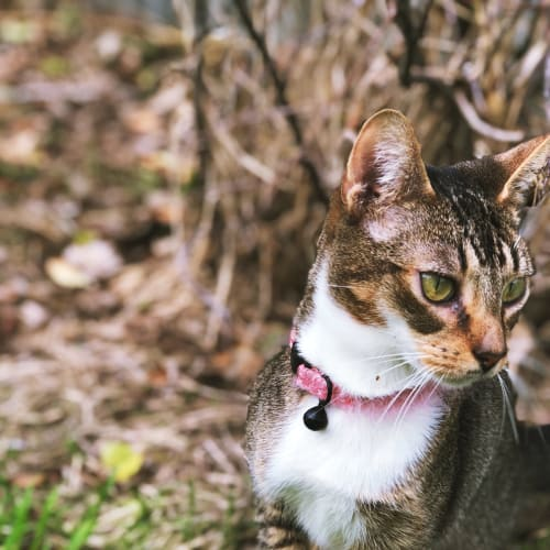 Sporty Spice - Abyssinian Cat