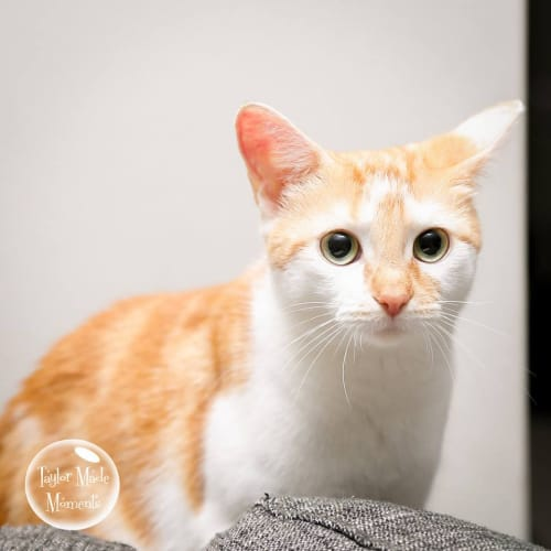 AC0744 - Alani - Domestic Short Hair Cat