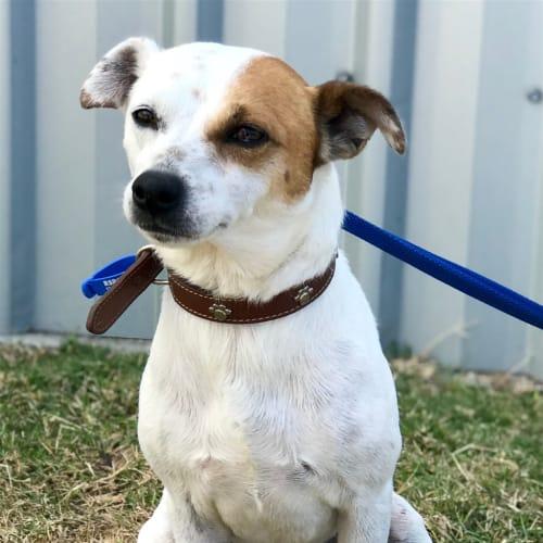 Grumps - Fox Terrier x Jack Russell Terrier Dog