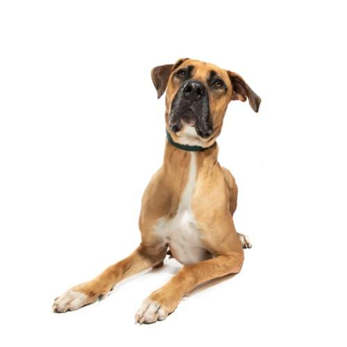 Prince - Bullmastiff x Great Dane Dog