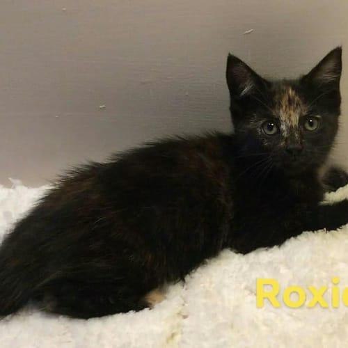 Roxie - Domestic Short Hair Cat
