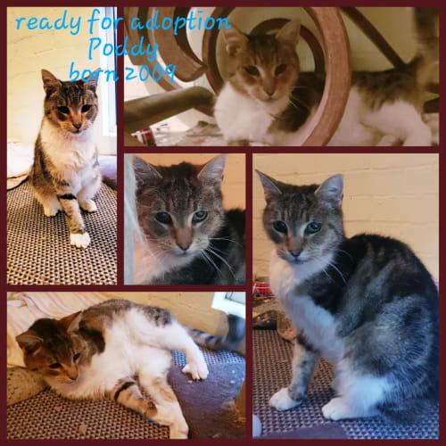 Poddy - Domestic Short Hair Cat