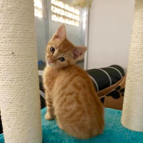 Hobbs - Domestic Short Hair Cat