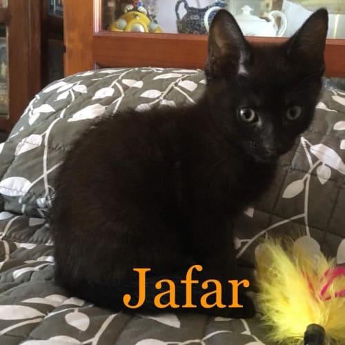 Jafar - Domestic Short Hair Cat