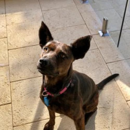 Ella - Staffy Dog