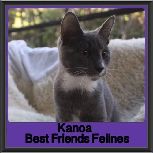 Kanoa  - Domestic Short Hair Cat