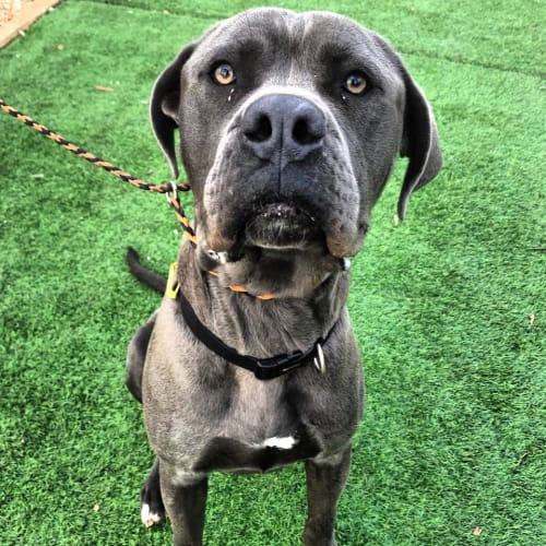 Duke - Neapolitan Mastiff Dog