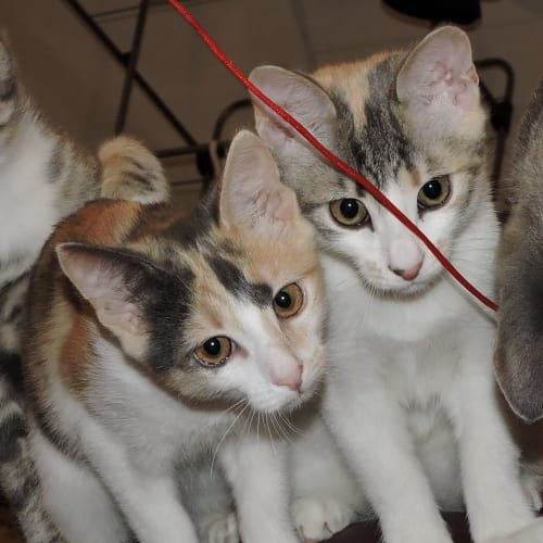 Mollie & Ellie @ Petstock Marsden Park - Domestic Short Hair Cat