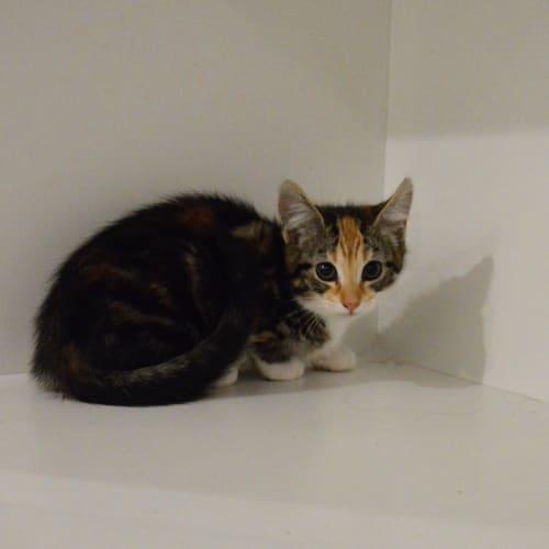 Kit Kat ~Rainbow Cat Rescue~ - Domestic Short Hair Cat