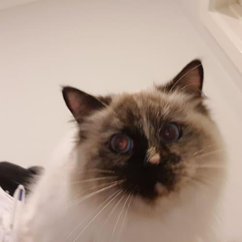 Dafney ~Rainbow Cat Rescue~ - Ragdoll Cat