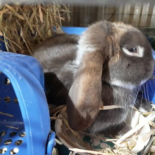 Rocky - Mini Lop Rabbit
