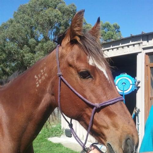 Penelope - Standardbred Horse