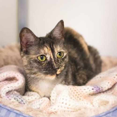 Spice (87081) - Domestic Short Hair Cat
