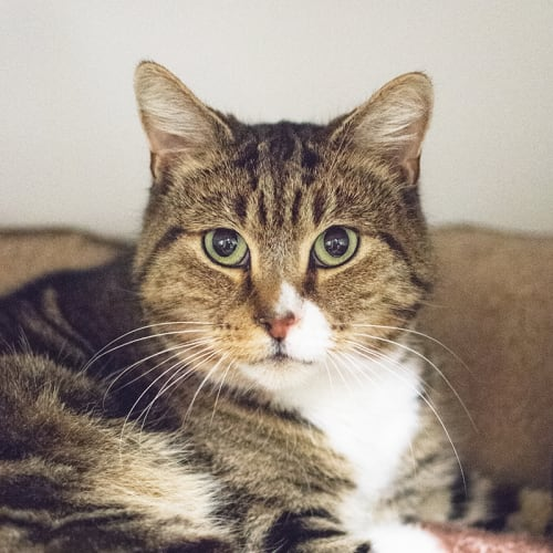 Frankie (87238) - Domestic Short Hair Cat