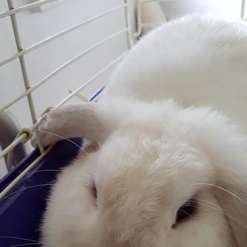 Pearl - Dwarf lop Rabbit