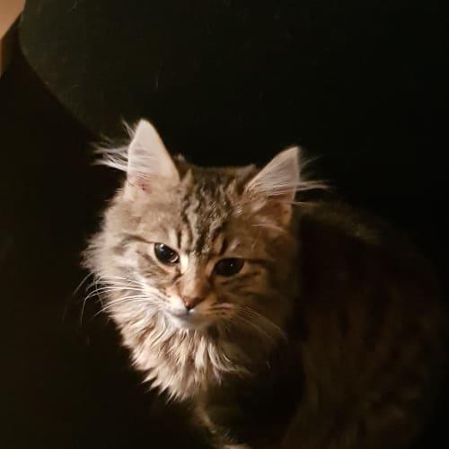 Jax - Domestic Long Hair Cat
