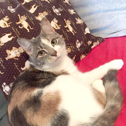 Octavia the royally gorgeous girl kitten!  - Domestic Short Hair Cat