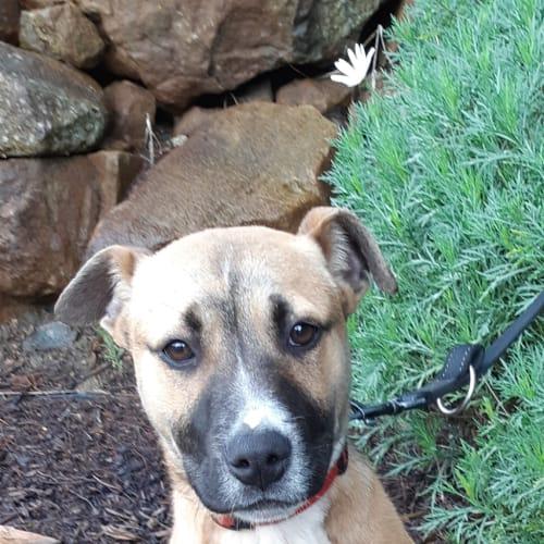 Louie - Staffordshire Bull Terrier Dog