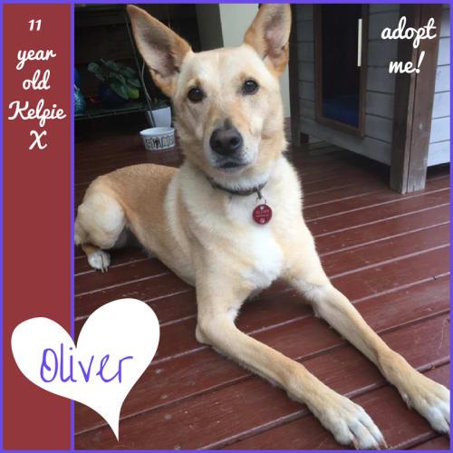 Oliver ~ 11 year old Kelpie X - Kelpie Dog